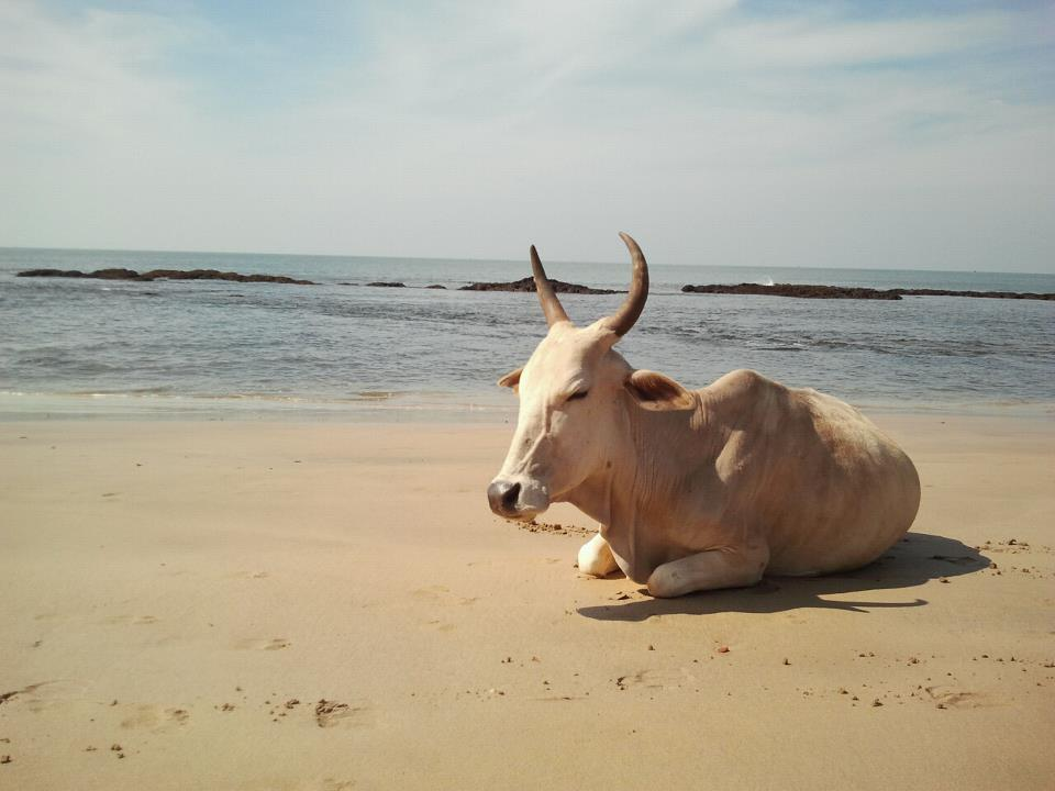 drewmanity-arabian-sea-anjuna-goa-india-beach-cow