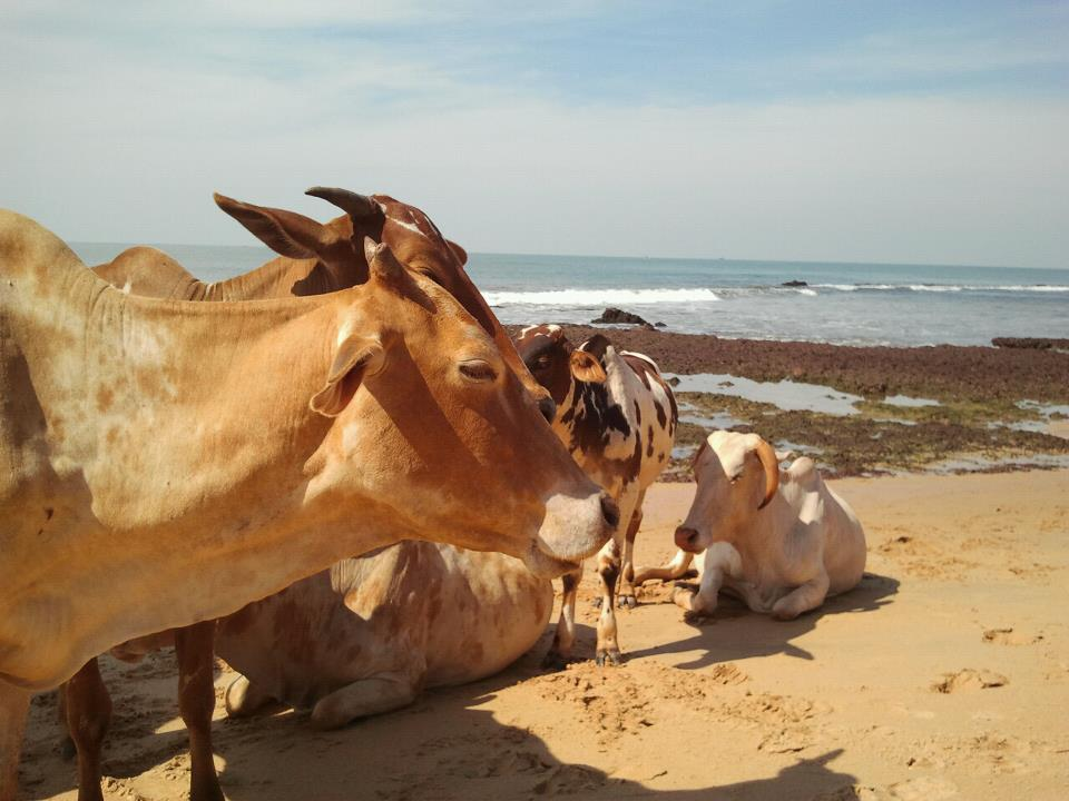 drewmanity-arabian-sea-anjuna-goa-india-beach-cows