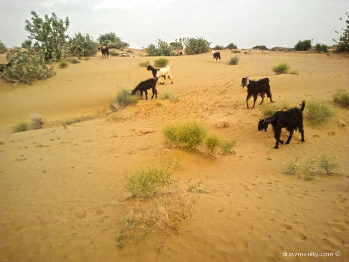 goats in the sand dunes