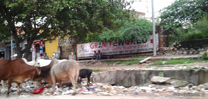 Astonishing, Cows roam free in the streets and eat  rubbish.