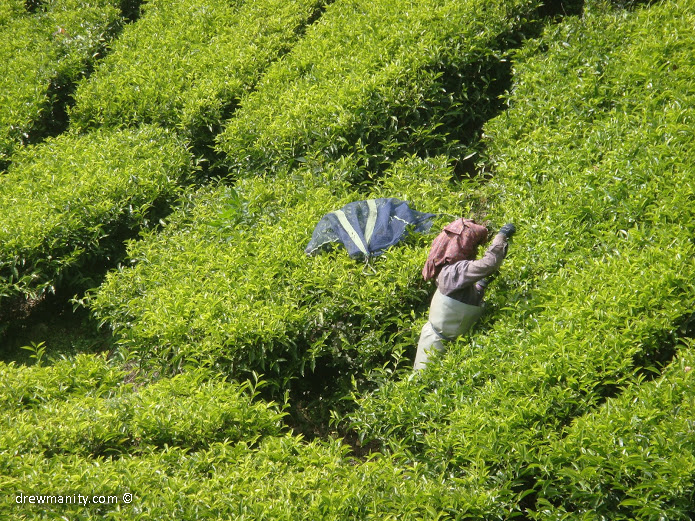 drewmanity-munnar-indian-women-picking-tea-leaves-reaching