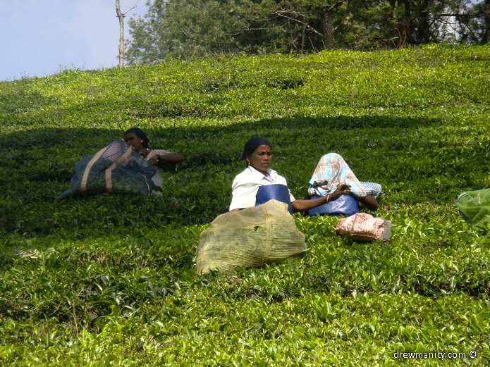 drewmanity-munnar-indian-women-picking-tea-leaves